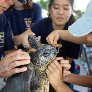 Signature programs at HPA, Sea Turtle Research Program